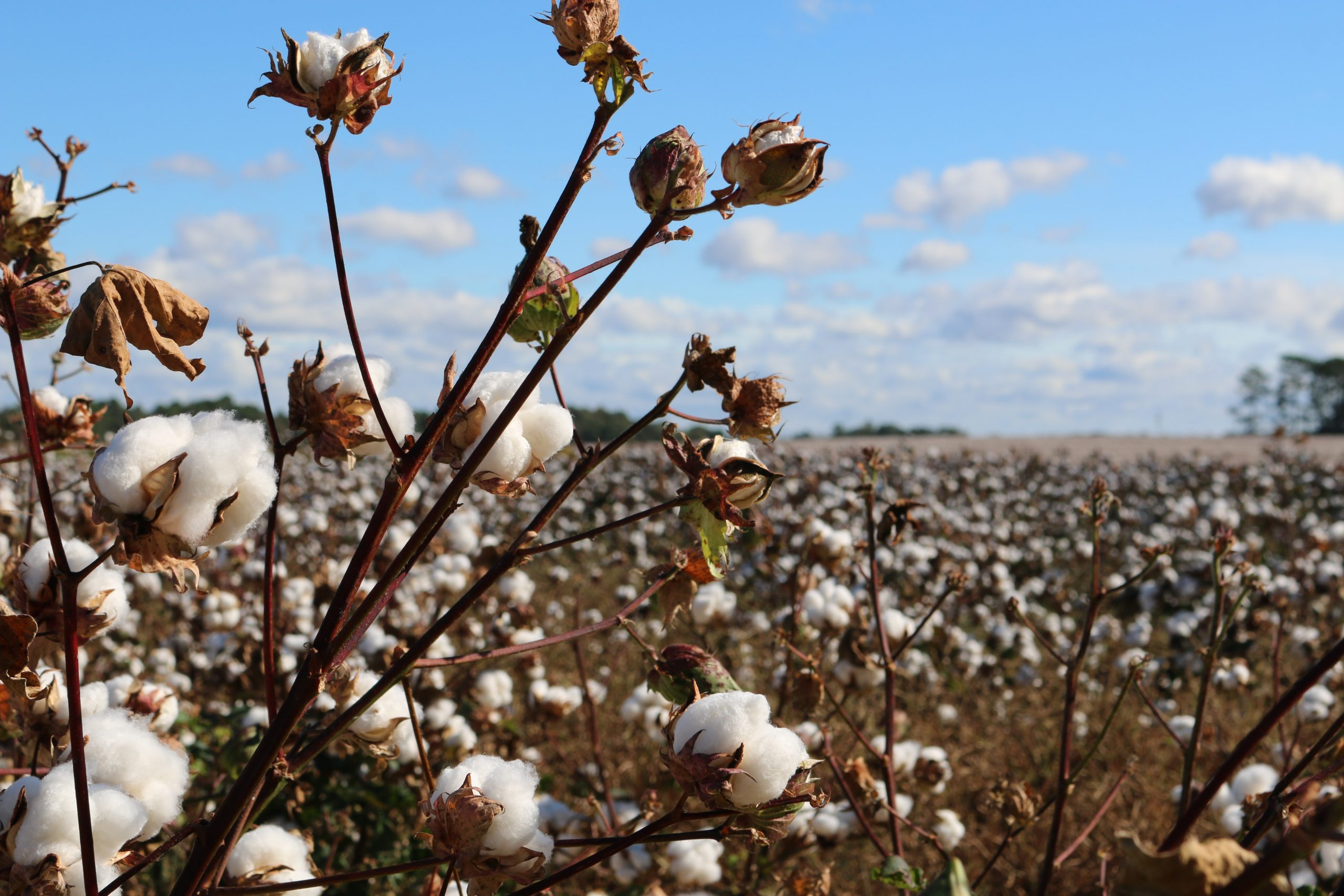 Even with poor rains, genetically modified cotton farmers in Malawi reap big