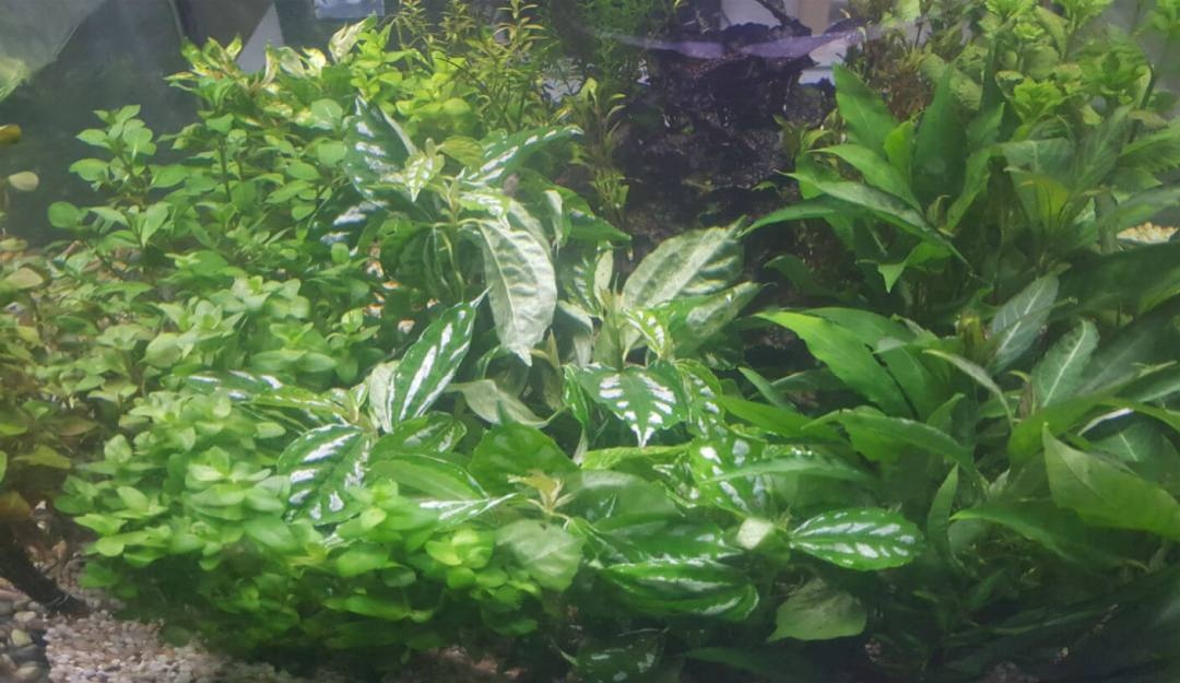 Aquarium Plants Melbourne | Fresh Plants Arrive Twice Weekly