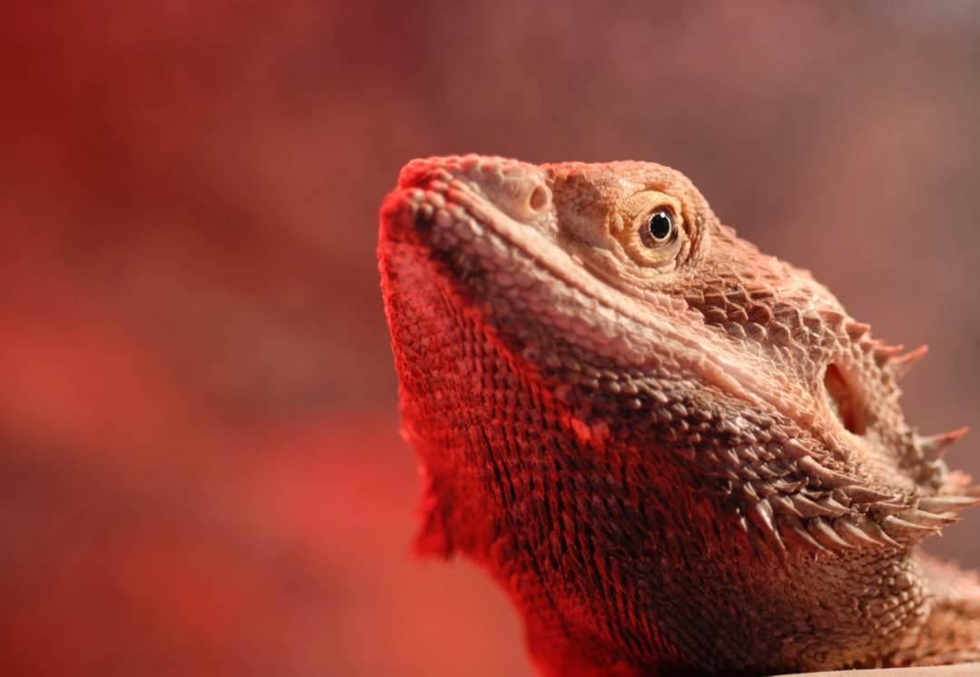 Bearded Dragon Melbourne
