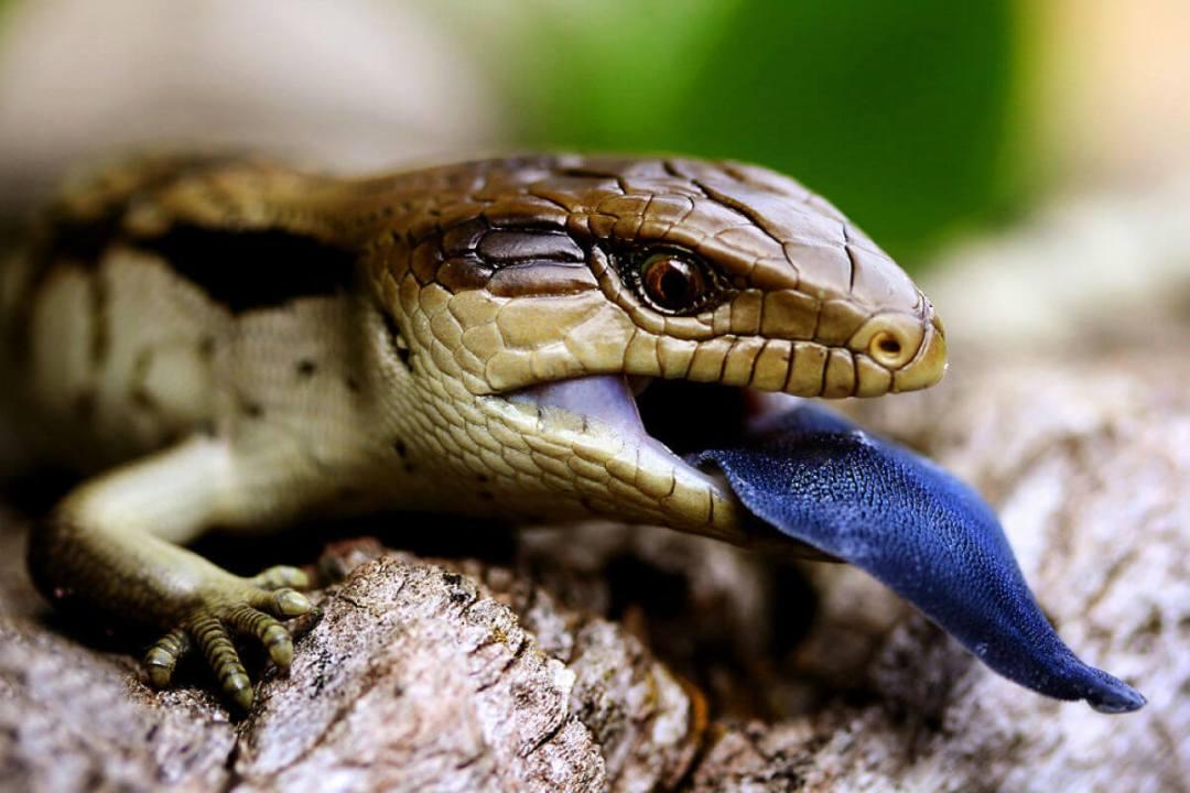 Blue Tongue Lizard Melbourne