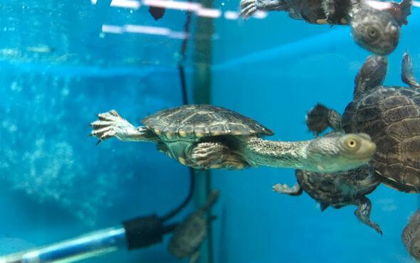 Baby Turtles Melbourne in Turtle Aquarium