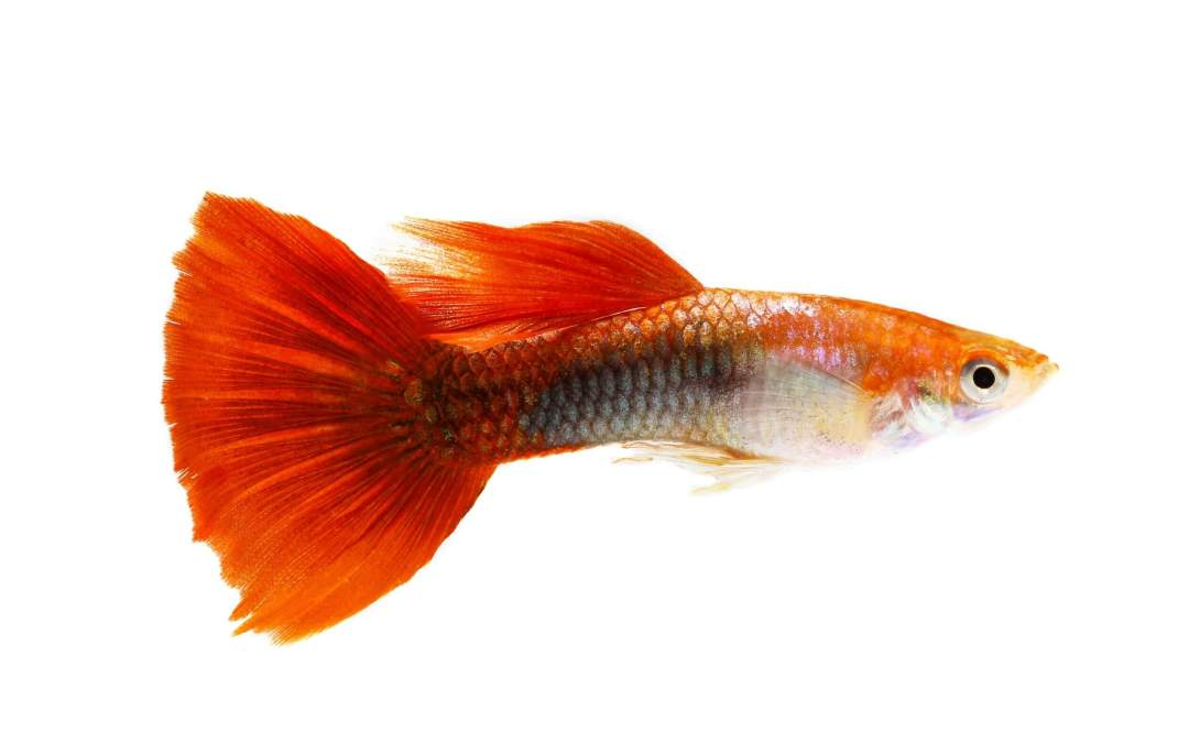 The Right Way of Breeding Livebearers