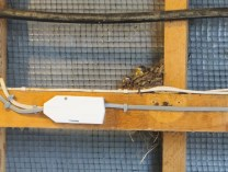 Swallows nesting in the eaves of the changing rooms