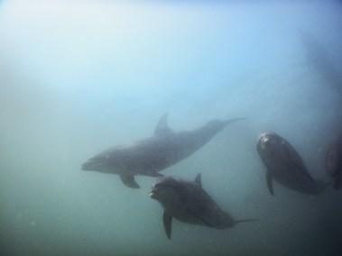 Watching bottlenose dolphins swim at Sorrento