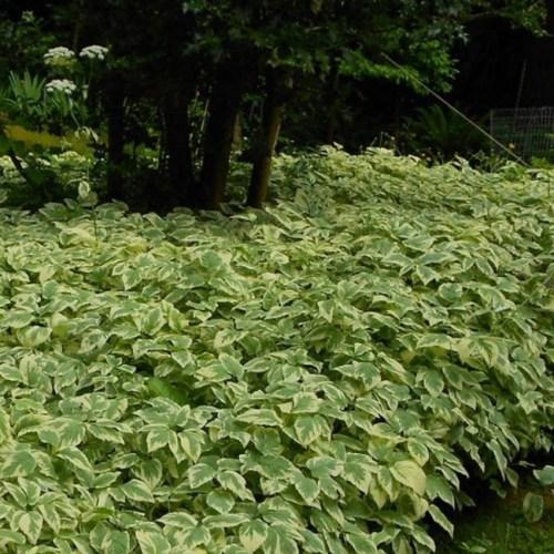 Aegopodium Podagraria (Goutweed) Variegatum