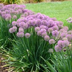 Allium (Ornamental Onion) Millenium