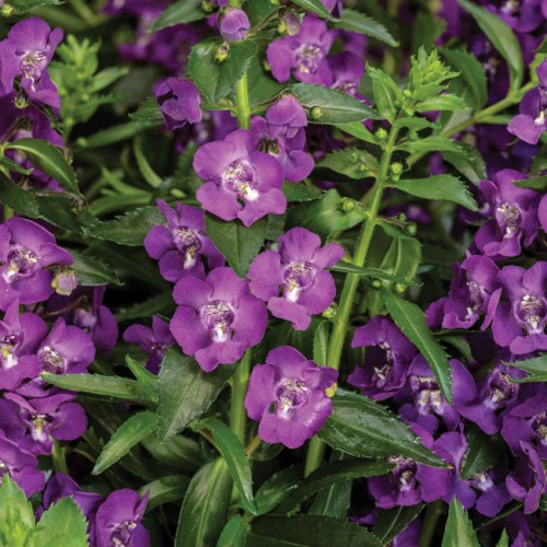Angelonia Angelface Super Blue