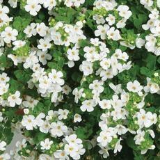 Bacopa Calypso Jumbo White