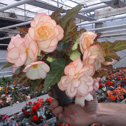 Begonia I'Conia Miss Montreal
