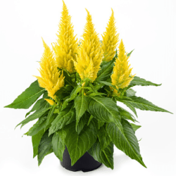 Celosia Kelos Fire Yellow