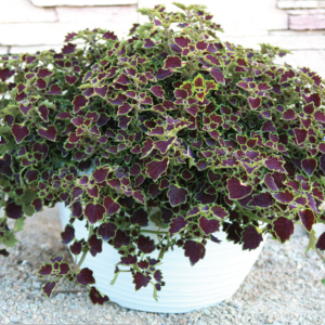Coleus Great Falls Niagara