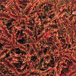 Coleus Stained Glassworks Kiwi Fern