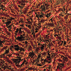 Coleus Stained Glassworks Kiwi Fern