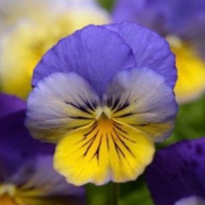 Pansy Cool Wave Morpho Hanging Basket