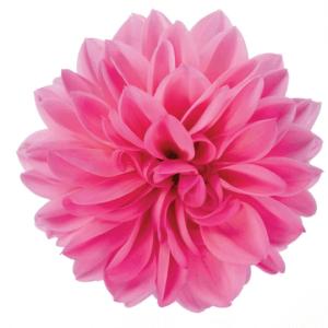 Dahlia Dahlinova Lisa Dark Pink