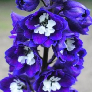 Delphinium (Larkspur) Dark Blue/White Bee