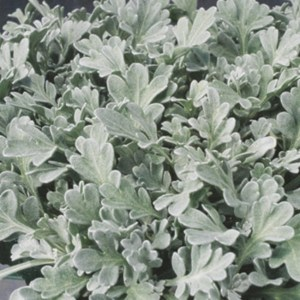 Dusty Miller Cirrus