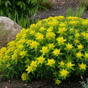 Euphorbia (Spurge) Polychroma