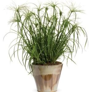 Grass Cypress King Tut