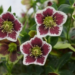 Helleborus (Lenten Rose) Romantic Getaway