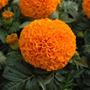 Marigold  African Antiqua Yellow