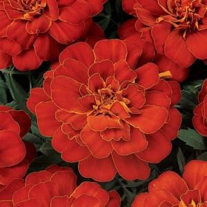 Marigold Durango Red