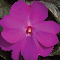 New Guinea Impaients Sonic Lilac
