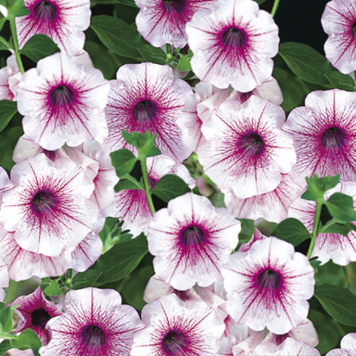 Petunia-Surfina-Rose-Veined