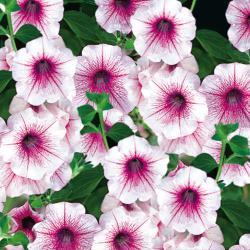 Petunia Surfinia Rose Veined