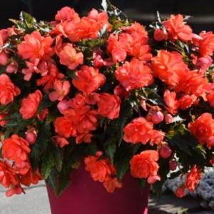 Begonia – I'Conia – Miss Malibu Hanging Basket