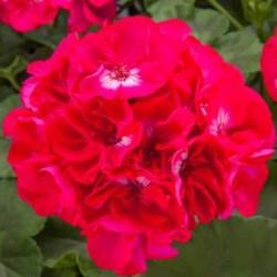 Calliope Large Hot Rose Hanging Basket