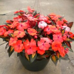 New Guinea Impatiens – Painted Paradise Orange Hanging Basket