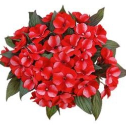 New Guinea Impatiens – Paradise Sel Bicolor Red Hanging Basket
