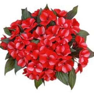 New Guinea Impatiens – Paradise Sel Bicolor Red Hanging Basket