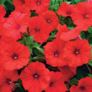 Petunia Surfina – Deep Red Hanging Basket