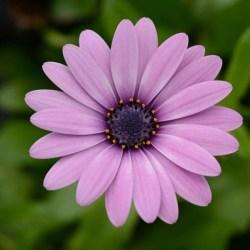 Osteospermum Daisy Falls Pink