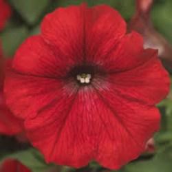 Petunia Dekko Red