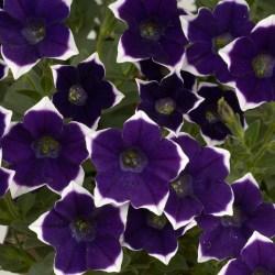 Petunia Rim Violet