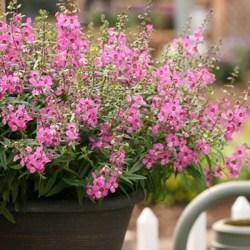 Sungelonia Depp Pink
