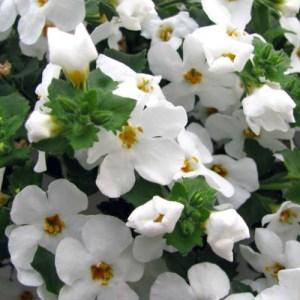 Bacopa Bahia White