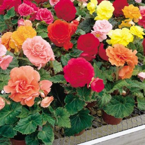 Begonia Nonstop Mix