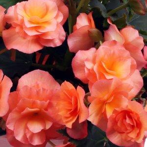 Begonia Solenia Apricot