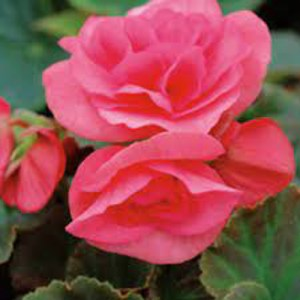 Begonia Solenia Light Pink
