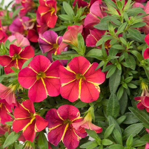 Calibrachoa Aloha Cherry Cartwheel