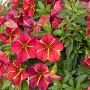 Calibrachoa Aloha Cherry Cartwheel