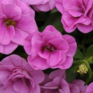 Calibrachoa MiniFamous Neo DBL Pink