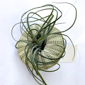 Hanging Green Urchin w/Air Plant Small