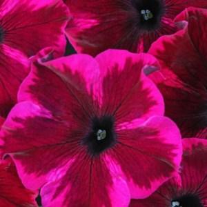 Petunia Crazytunia Cosmic Purple