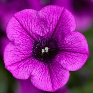 Petunia Dekko Deep Lavender Vein