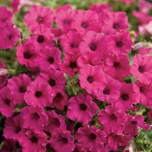 Petunia Supertunia Mini Vista Sangira